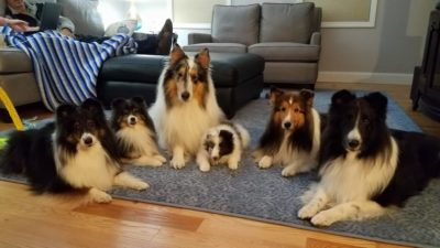 5 Shelties and collie
