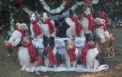 8 Shelties in scarves