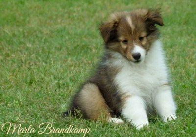 Sheltie puppy sitting