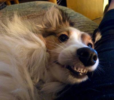 Sheltie smiling