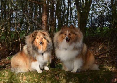 British Shelties