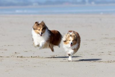 Shelties on Australian beach