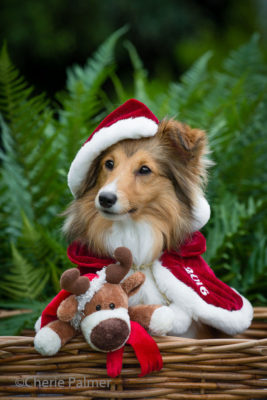 Sheltie dressed for holiday