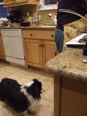 Sheltie in the kitchen