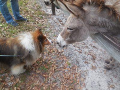 Sheltie sniffing donkey