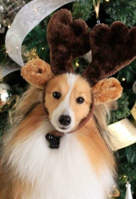 Female Sheltie wearing antlers