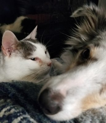 sheltie and cat cuddling
