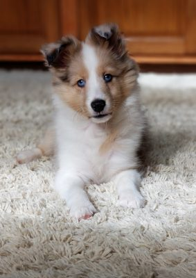 Sheltie with blue eyes