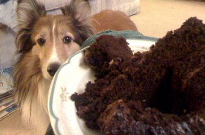 Sheltie begging for cake