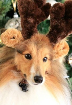 Male Sheltie wearing antlers