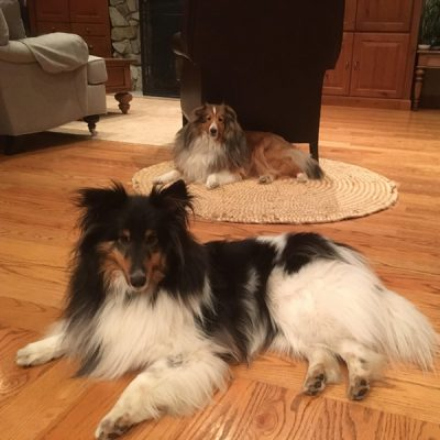 Shelties laying down
