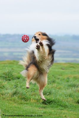 Sheltie leaping