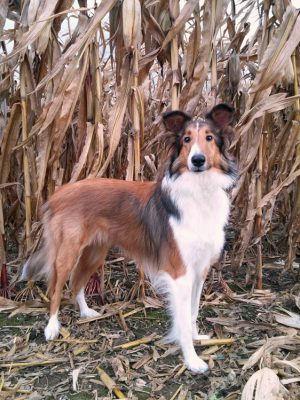 Sheltie in corn field