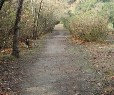 Sheltie on trail