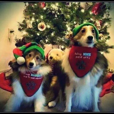 Shelties dressed as elves