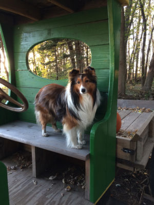 Sheltie in truck