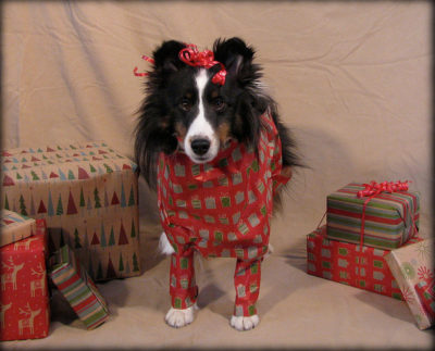 Sheltie wrapped