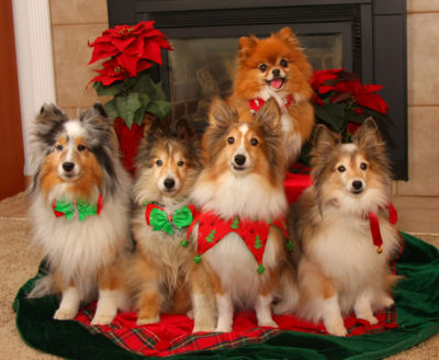 Shelties on Christmas