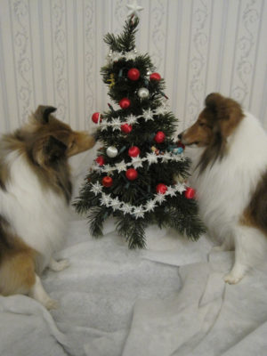 shelties inspecting tree