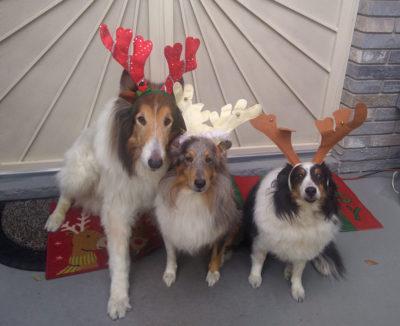 Sheltie antlers