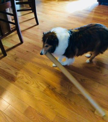 Sheltie with paper tube