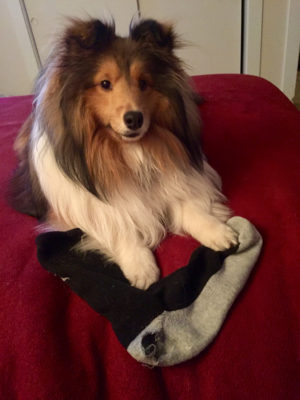Sheltie with sock