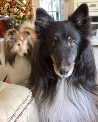 Serious Sheltie Expression