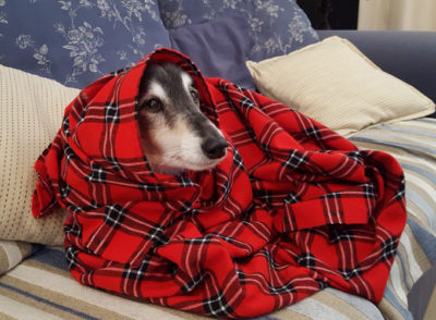 Sheltie in blanket