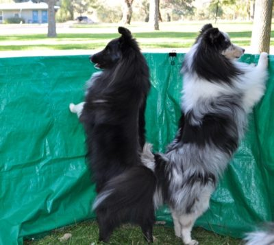 Shelties standing on hind legs