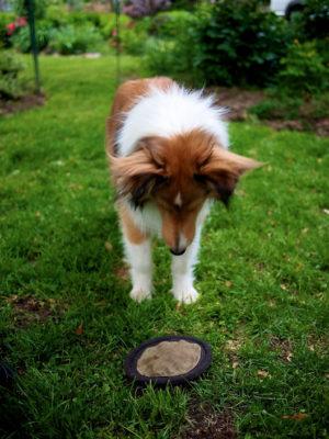Sheltie frisbee