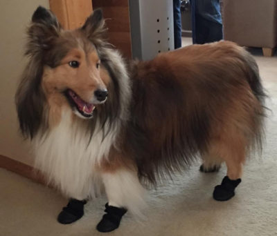 Sheltie in boots