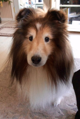Cute Sheltie face