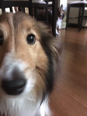 Sheltie eyes a treat