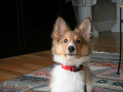 Sheltie puppy with big ears