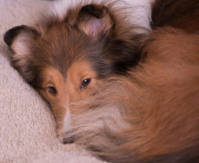Sheltie cozy
