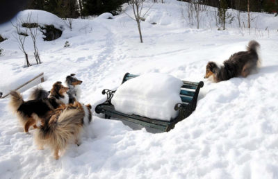 Shelties playing in snow