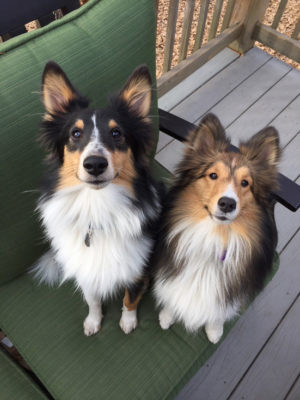 Shelties ears up