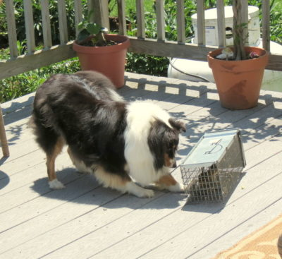 Sheltie and chipmunk