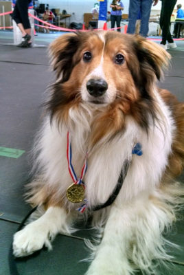 Sheltie with medal
