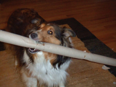 Sheltie and paper roll