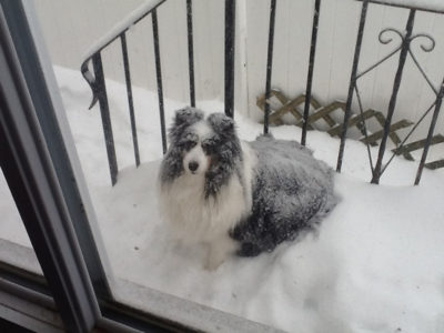Sheltie in snow