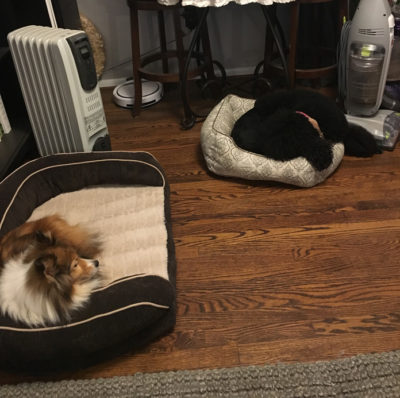 Sheltie hogging big bed