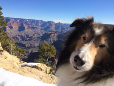 Grand Canyon Sheltie