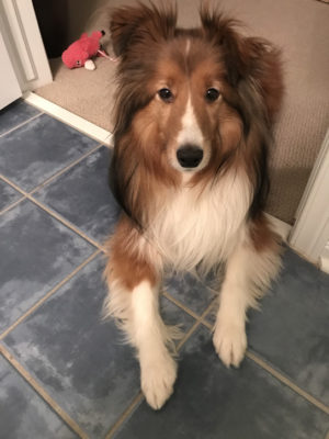 Sheltie watching door
