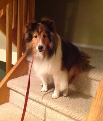 Sheltie sitting on stair