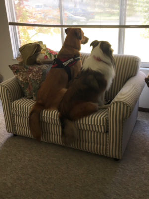 Sheltie and friend looking out window
