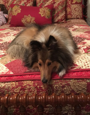 Sheltie pouting