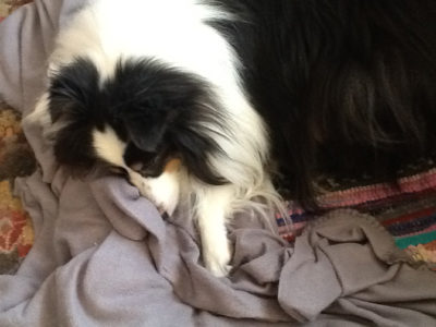 Sheltie snuggling