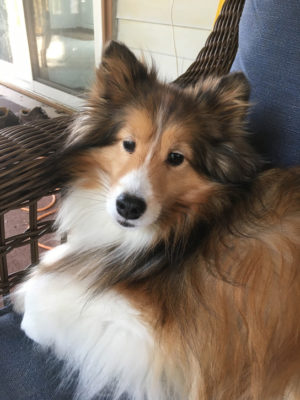Sheltie in corner of couch