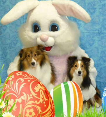 Sheltie and easter bunny